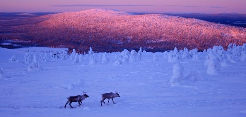 finland_lapland_levi_reindeers.jpg